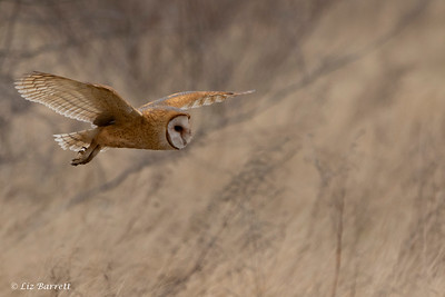 202A0424_Barn owl hunting