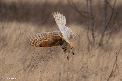 202A0405_Barn owl hunting
