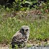 Barred Owl (Juvenile)