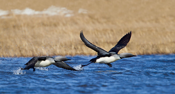 Pacific loons taking off