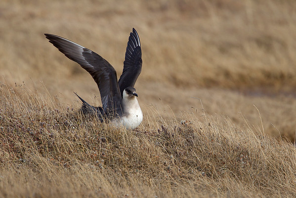 Parasitic Jaeger wing flap