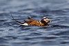 Male long-tailed duck in breeding plumage
