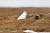 Snowy Owl on the tundra