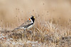 Lapland Longspur in breeding plumage
