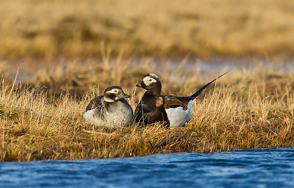 Long-tailed ducks resting on the tundra