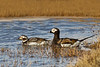 Male (R) and female (L) long -tailed ducks