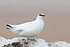 A male Rock Ptarmigan