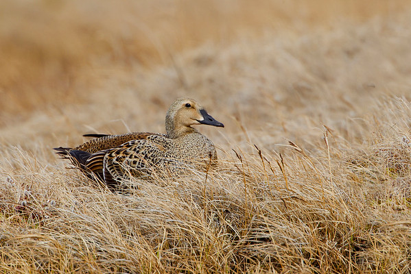 Female King Eider