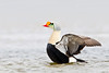 King Eider wing flap