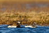 Long -tailed Ducks