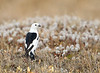 Snow Bunting.  The light white puff balls in the background are dwarf willow.