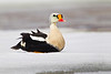King Eider resting on ice