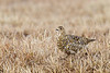 Female Rock Ptarmigan