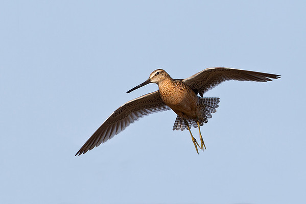 Long-billed Dowitcher in flight