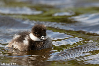 Golden Eye Duckling0U2A9936
