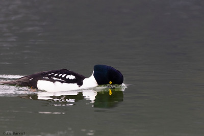 0U2A2511_Barrows Goldeneye