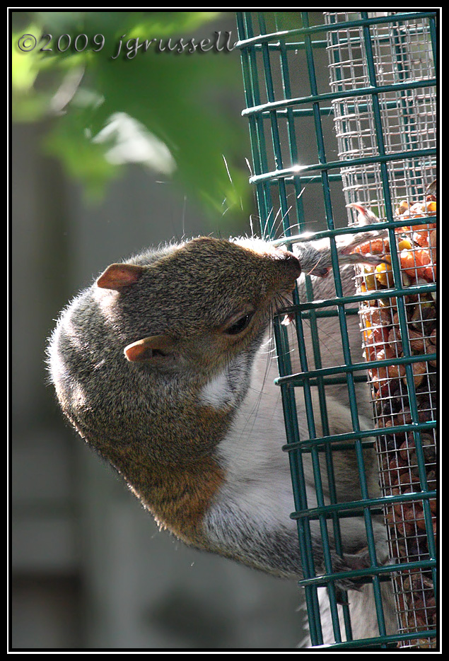 Frustrated squirrel