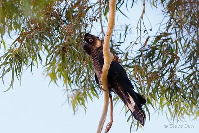 Baudin's Black-Cockatoo