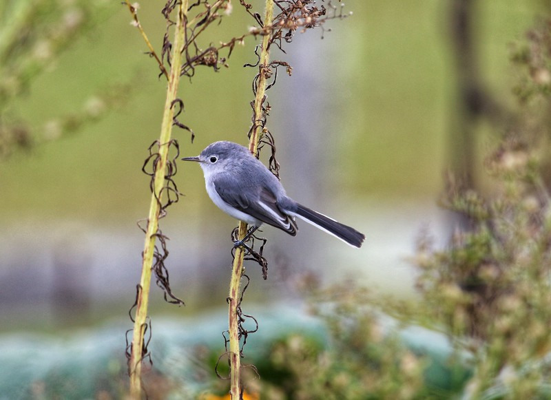 Grey Gnatcatcher