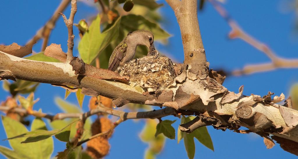 Costa's Hummingbird and nestling