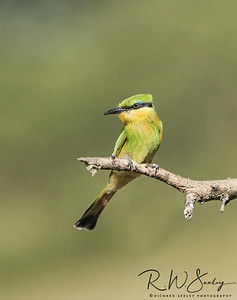 Bee-Eater Watching for Bees