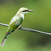 Green Bee Eater, as seen on Cable TV(wire that is!)