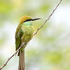 Bee Eater in some light