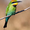 Rainbow Bee-eater