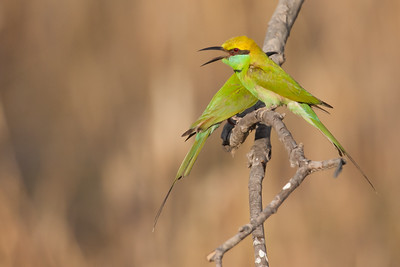 Green Bee-eaters - Bandhavgarh National Park, Madhya Pradesh, India