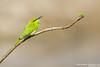 Green Bee-eather - Maharashtra, India