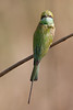 Green Bee-eater - Kanha National Park - Madhya Pradesh, India