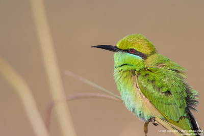 Green Bee-eater - Maharashtra, India