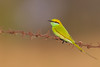 Green Bee-eater - Ameenpur Lake, Hyderabad, India