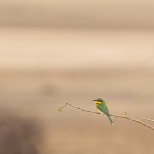 Little Bee-eater - Tarangire National Park, Tanzania