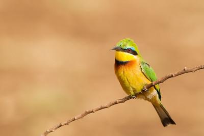 Little Bee-eater - Lake Manyara National Park, Tanzania