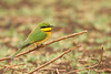 Little Bee-eater - Lake Manyara National Park, Tanzania