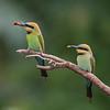 Rainbow Bee-eater-8391©DavidStowe
