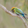 Rainbow Bee-eater (Merops ornatus). Location: Inskip Point, Queensland, Australia. This Rainbow Bee-eater was sitting on a branch as normal when it began to jerk its head and rapidly regurgitated this pellet of indigestible food.