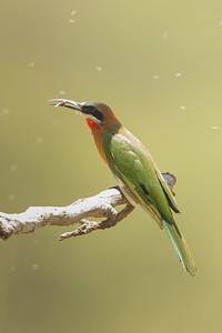White-fronted Bee-eater - Lake Nakuru Naional Park, Kenya