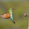 Female Rainbow Bee-eater (Merops ornatus)