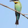 Rainbow Bee-eater (Merops ornatus)