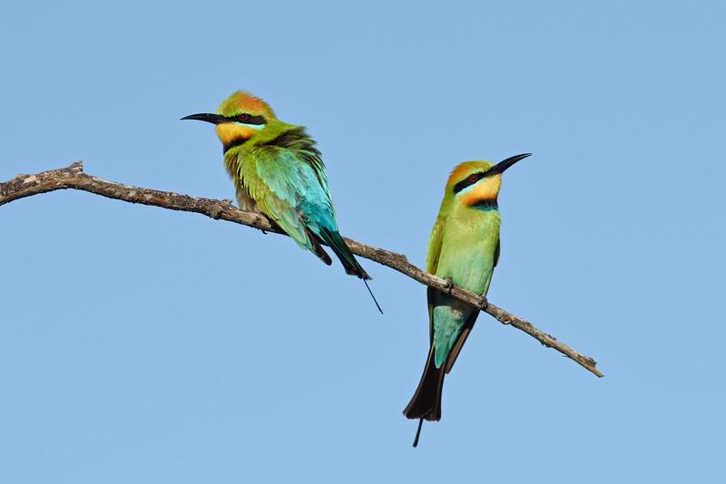 Male and female Rainbow Bee-eaters (Merops ornatus)
