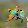 Rainbow Bee-eaters (Merops ornatus)