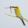 Male Rainbow Bee-eater (Merops ornatus)