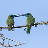 Little green Bee eater couple courting שרקרק גמדי-זוג בחיזור