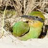 Rainbow Bee-eater (Merops ornatus) chick