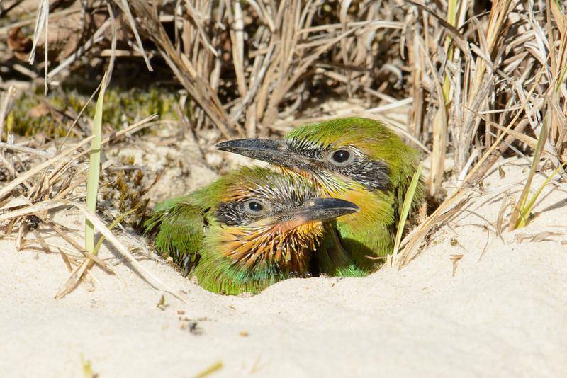 Rainbow Bee-eater (Merops ornatus) Chicks