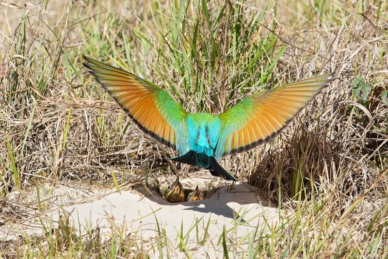 Rainbow Bee-eater chicks (Merops ornatus)