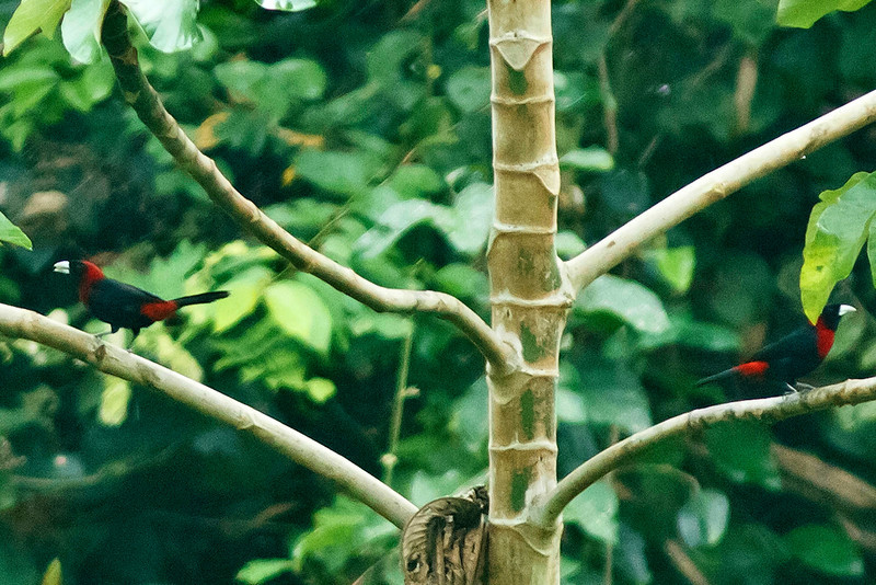 Crimson-Collared Tanagers
