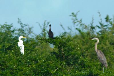 Great Egret, Neotropic Cormorant, Great Blue Heron